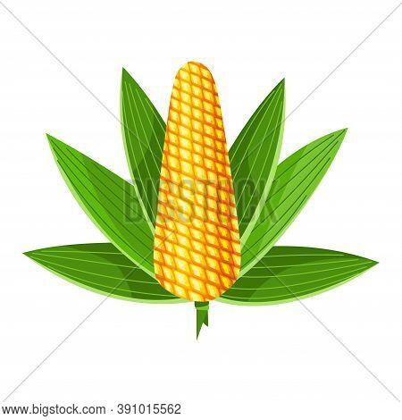 Corn. Isolated Ripe Corn Ear. Yellow Corn Cob With Green Leaves. Summer Farm Design Element. Sweet B