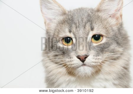 close up portrait gray cat on a light background poster