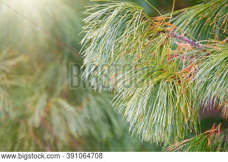 Cedar Branches With Long Fluffy Needles With A Beautiful Blurry Background. Pinus Sibirica, Or Siber