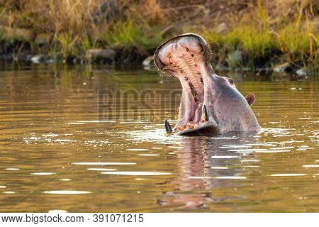 Hippo Opens Its Massive Jaws Wide. Hippopotamus Hippopotamus Amphibius, With Open Mouth Showing Tusk