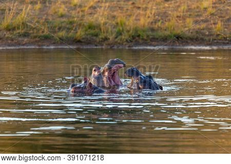Male Of Hippo, Hippopotamus Hippopotamus Amphibius, Rehearse Fray And Fighting With Open Mouth And S
