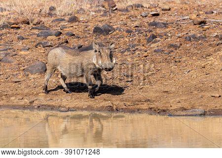 African Pig Warthog On Waterhole In Pilanesberg Game Reserve, South Africa Safari Wildlife