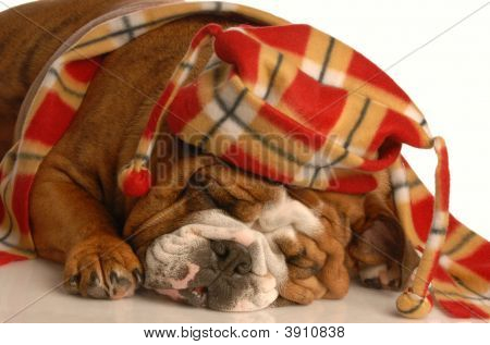 english bulldog dressed up with trendy winter hat and scarf poster