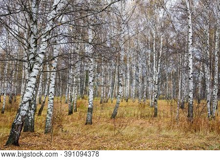Slender White Birches In An Autumn Yellow Leaf And Grass