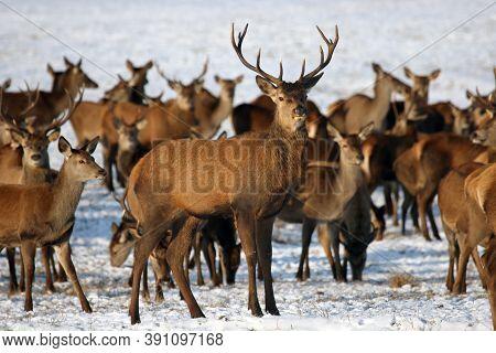 The Red Deer (cervus Elaphus) A Herd Of Deer On A Snowy Meadow. A Large Herd Of Deer In A Game Reser