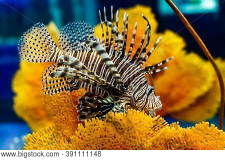 Fish Lion Beautiful Swimming Over Coral Reef.