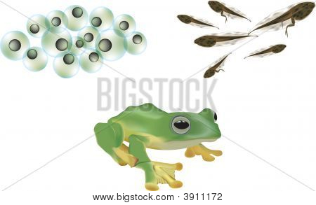 Frog Lifecycle