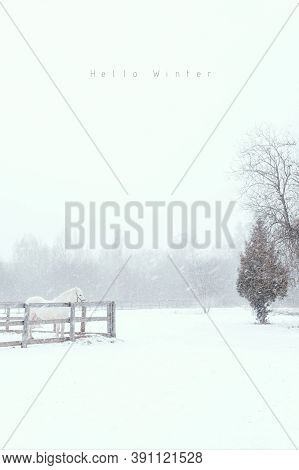 Thoroughbred White Horse On Snow Farm Side View. Winter Countryside Landscape Background With Copysp