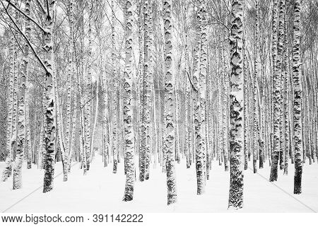Birch Trunks Covered With Snow In White Snowdrifts Black And White
