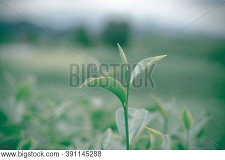 Close-up Of Green Tea Leaves In Tea Plantation With Blurred Background. Green Tea Plantation Scenery