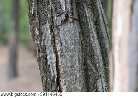 Damaged Tree Trunk Close Up. Tree Trunk In Park