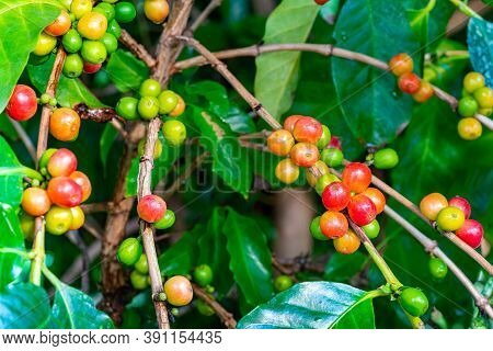 Bunch Of Coffee Fruit With Leaf Isolated On White Background With Clipping Path. The Coffee Fruit Co