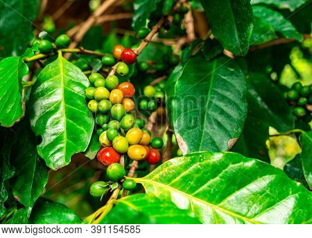 Bunches Of Red And Green Arabica Coffee Fruit On Branches Of Coffee Tree. The Coffee Tree Are Small