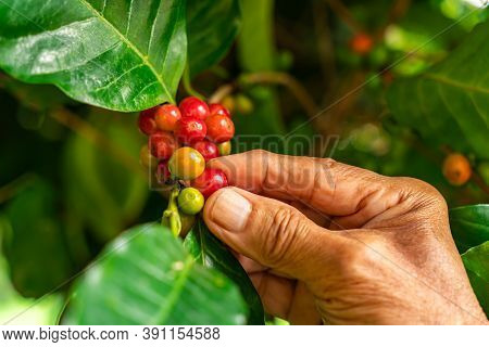 Senior Farmer Hand Check A Red Coffee Fruits On A Branch Of Coffee Tree.