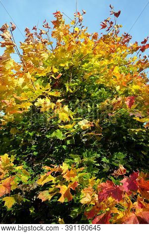 Motley vegetation on dense colorful maple tree with lot of colorful leaves in the autumn season on bright sunny day close up view