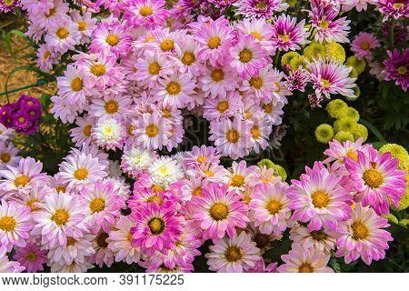 Yellow Chrysanthemum Flower In The Garden. Group Of Yellow Chrysanthemum Flower On Blur Background