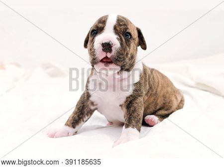 Staffordshire Terrier One-month Puppy Dog. Young Dog Sitting On White Blanket With Tongue Sticking O