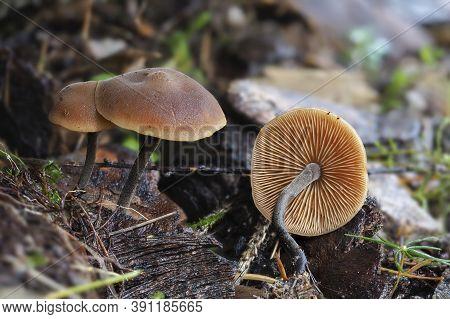 The Cucumber Cap (macrocystidia Cucumis) Is An Inedible Mushroom , Stacked Macro Photo