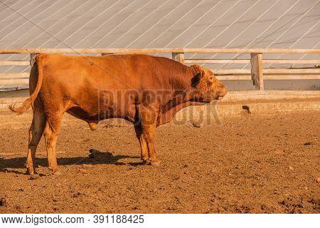 Limousine Bulls On A Farm. Limousine Bulls Spend Time On The Farm. Bull On The Farm