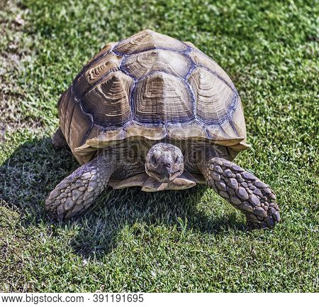 African Spurred Tortoise Also Known As Sulcata Tortoise, Land Turtle Walking On The Grass