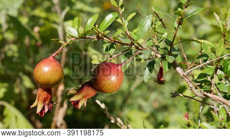 The Small, Ripening Fruits Of The Dwarf Pomegranate, Which Is Grown As A Houseplant In Cold Climates