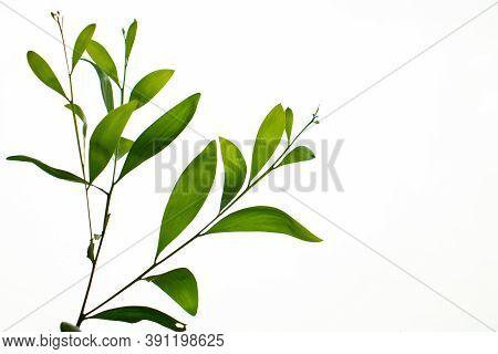 Earleaf Acacia Or Acacia Auriculiformis That Commonly Known As Auri Or Earleaf Acacia Or Earpod Watt