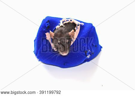 Cute Funny Rat Looking Out Of His House. Rat Dumbo. Black Rat On A White Background Isolated