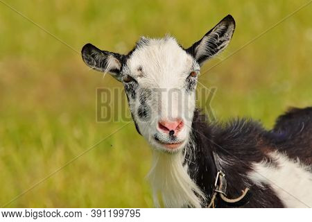 Portrait Of A Goat On Meadow.  Small Ruminants