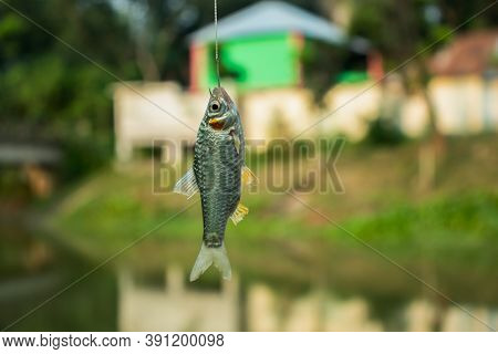 Puntius Or Cypriniformes Or Cyprinidae. Putti Fish In The Hook