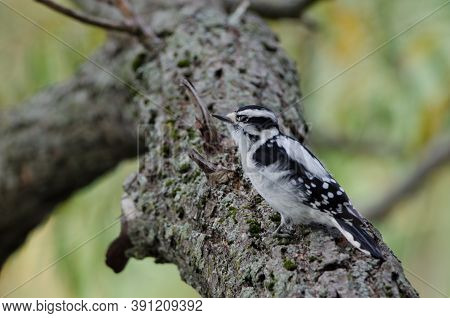 Downy Woodpecker (dryobates Pubescens) Is One Of The Smaller Species Of Woodpeckers. They Closely Re