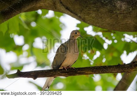 Mourning Dove (zenaida Macroura), Also Known As The Rain Dove, Or Turtle Dove. It Is One Of Hte Most