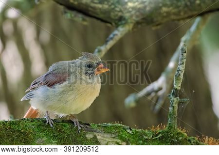 A Young Female Northern Cardinal (cardinalis Cardinalis) This Mid-sized Songbird Is Commonly Found I
