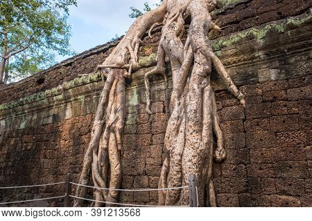 Roots Of Spung Tree Growing In Ta Prohm Temple, One Of Angkor's Best Visited Monuments. It Is Known