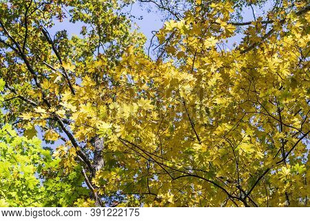Autumn Leaves Of Tree. Fall Natural Background Of Yellow Orange Green Foliage. Scenic Nature Backdro