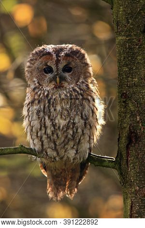 The Tawny Owl Or Brown Owl (strix Aluco) On The Branch Sitting In Backlight. Large Owls Typically Si