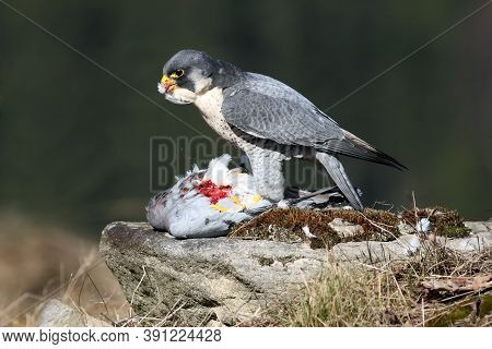 The Peregrine Falcon (falco Peregrinus), Also Known As The Peregrine Sitting On A Stone With Prey In