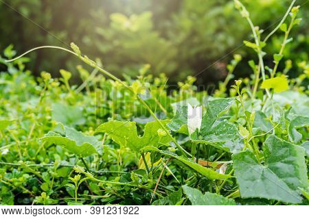 Close Up Of White Flowering Plant And Green Leaf On Green Hedge Fence Or Natural Green Leaf Wall Wit