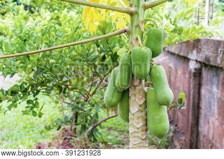 Fresh Papaya Fruits And Droplets On Green Papaya Leaves After Raining In The Morning. Group Of Tropi