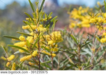 Acacia Or Wattle In Flower Near Sawpit Gorge In White Mountain National Park, Queensland