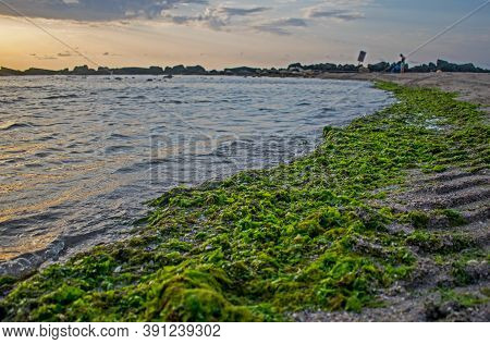 Green Algae Brought By The Waves To The Beach. Algae Invasion