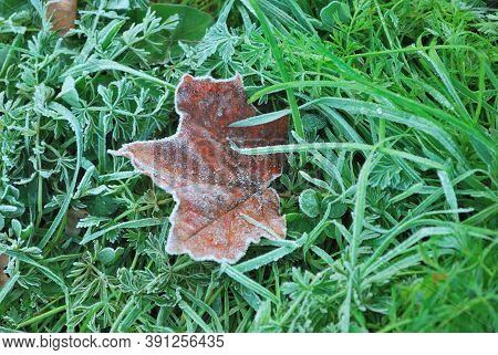 Beautiful Autumn Maple Leaf Covered With Frost