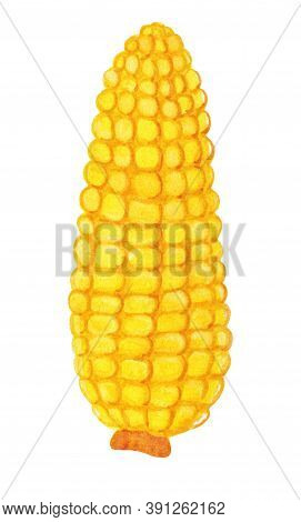 Gold Maize Cob Without Husk With Detailed Kernels Isolated On White Background. Watercolor Corn Logo