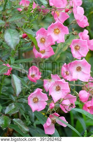 Musk Rose With Pink Flowers On A Flowerbed In A Park, Selective Focus, Vertical Orientation.