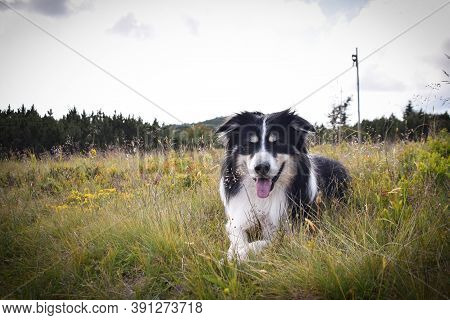 Border Collie Is Lying In The Grass. He Is So Crazy Dog O N Trip.
