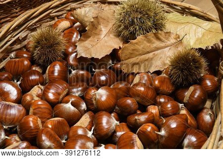 Freshly Picked Chestnuts In Wicker Basket With Leaves And Curls