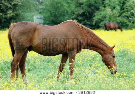 Brown Horse On Yellow Field Agriculture