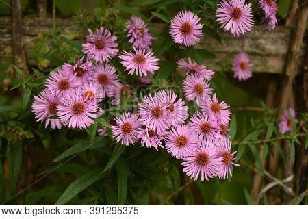 Aster Dumosus Violet Daisies Floral Portrait