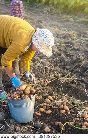 A Farmer Woman Collects Dug Up Potatoes In A Bucket. Harvesting On Farm Plantation. Farming. Growing
