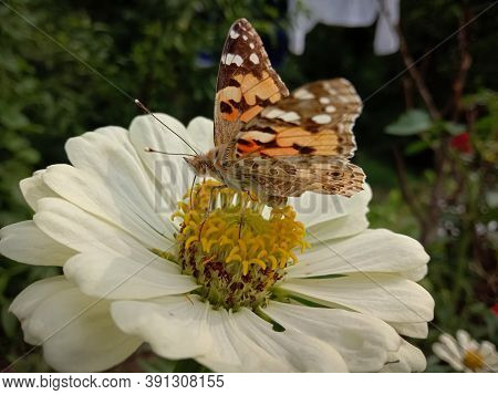 Picture Of Painted Lady (vanessa Cardui ) Butterfly On White Zinnia Flower. Himachal Pradesh, India.