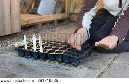 Woman Sowing Seeds In A Seed Tray In A Uk Garden